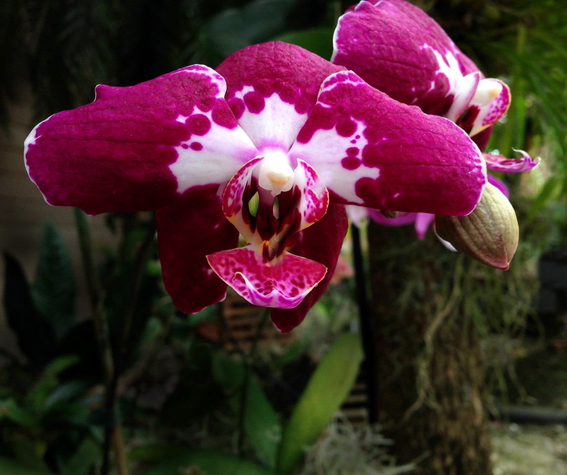 Orchid-2-FL