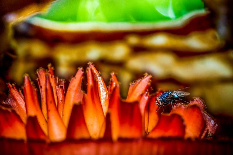Rafflesia pricei, Borneo
