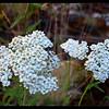 White Yarrow ~ Achillea millefolium