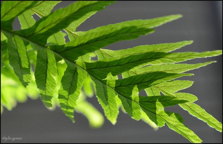 Licorice Fern ~ Polypodium glycyrrhiza