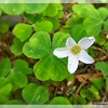 Wood Sorrel Blossom—Oxalis oregana