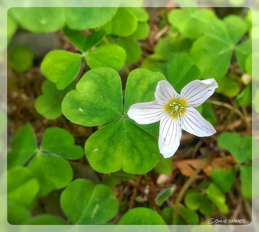 Wood Sorrel Blossom—Oxalis oregana