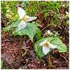 Pacific Trillium ~ Trillium ovatum