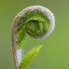 Fiddlehead, Great Smoky Mountains National Park, Tennessee