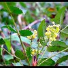 Oregon Grape ~ Mahonia aquifolium