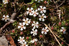 Pyxidanthera barbulata, Pixie Moss; Burlington County, New Jersey  2013-04-26  #3