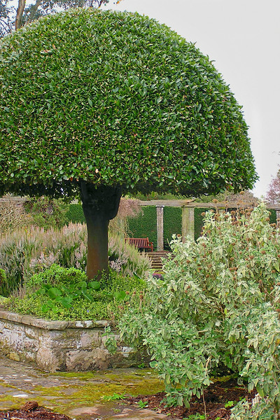 Ireland - well trimmed tree at Mount Stewart Gardens near Belfast