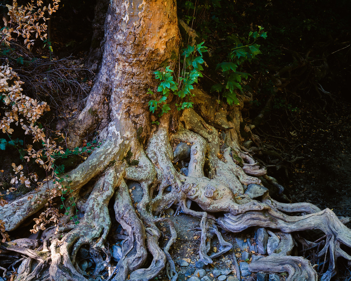 Roots, Contra Costa County, California, 1995