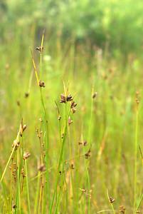 Twig Rush - Marsh Plant