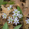 Hepatica blooms on the forest floor