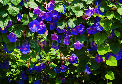Cascade of Morning Glory