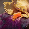 Purple and gold iris