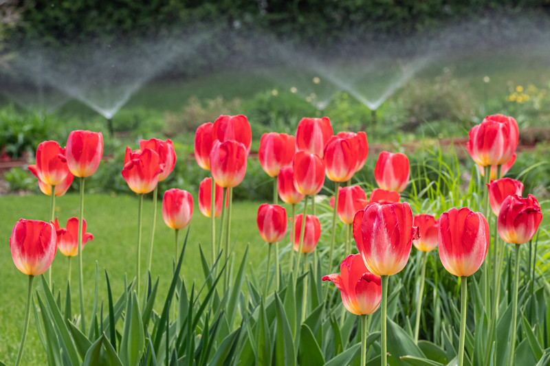 Red tulips and irrigation