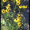 Columbia Coreopsis—Coreopsis tinctoria var atkinsoniana