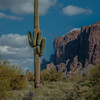 Superstition saguaro