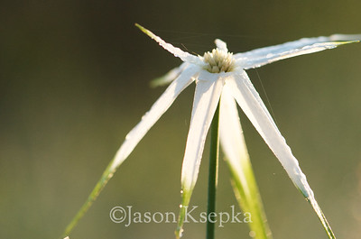 Rhynchospora colorata, White-top Sedge; Okaloosa County, Florida  2013-05-24  #10