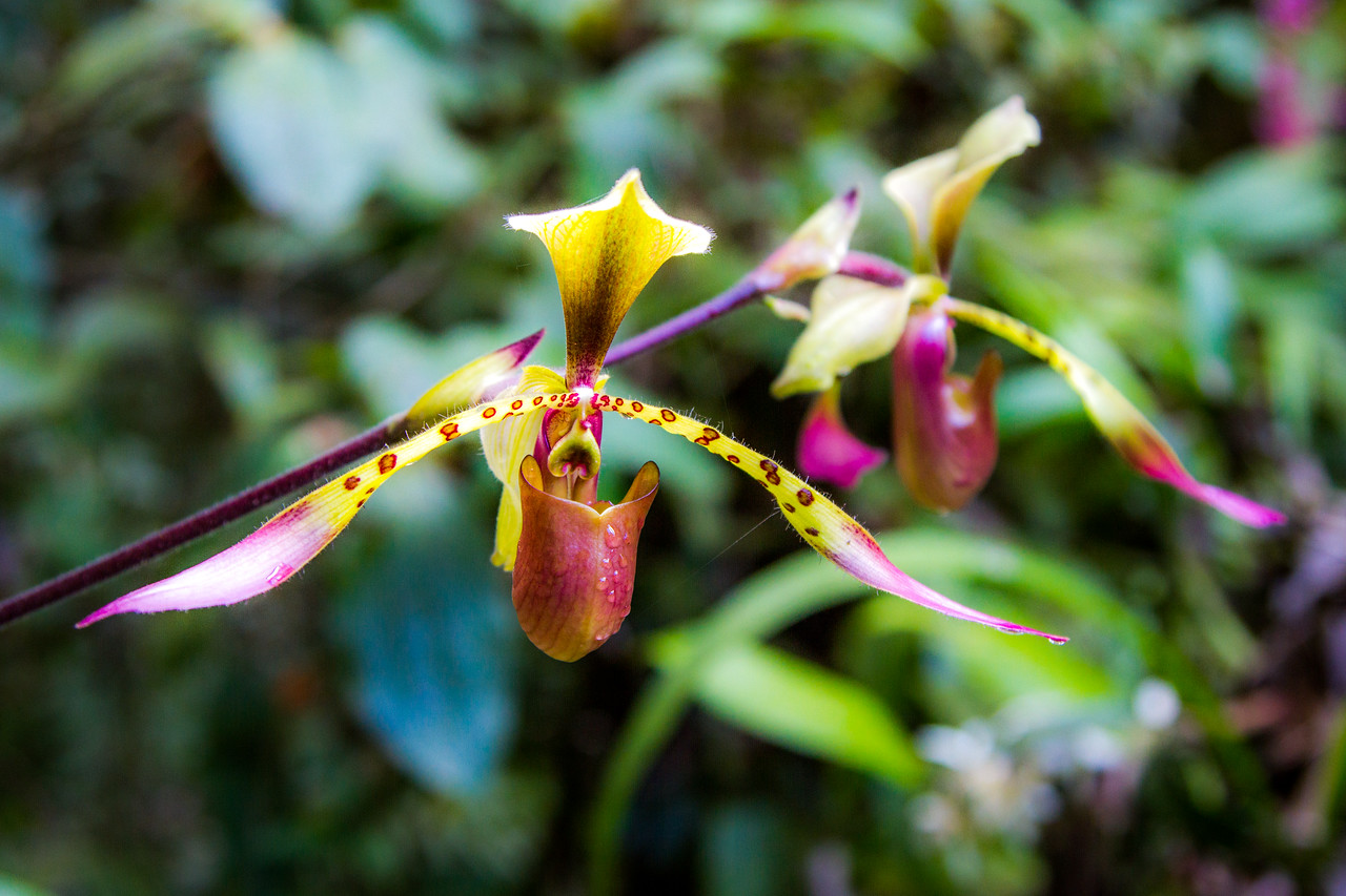 I was filming in Borneo. It was a special privilege to film the beautiful, rare and endangered Kinabalu slipper orchid (Paphiopedilum lowii). This flower is much coveted by orchid collectors around the world - which is why we will keep its location as a secret. #BBCEarth #EarthCapture #EarthOnLocation #Orchid #Flower #Rare #Endangered #Kinabalu #Borneo