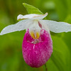 Showy Lady's Slipper, Baker's Brook Falls trail, Gros Morne National Park, Newfoundland