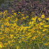 A crowd of brittlebush blossoms