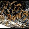Western Bracken Fern ~ Pteridium aquilinum