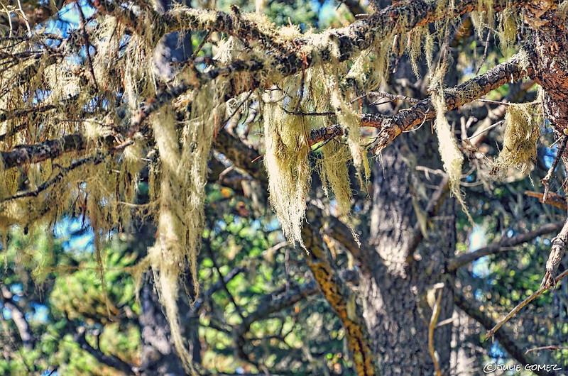 Witch's Hair—Alectoria sarmentosa