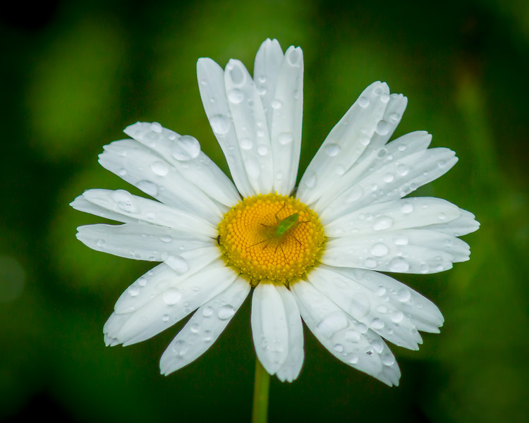 Oxeye Daisy on Lomond River trail in Gros Morne National Park, Newfoundland