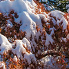 Japanese Maple in Snow 2013
