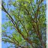 Black Locust—Robinia pseudoacacia
