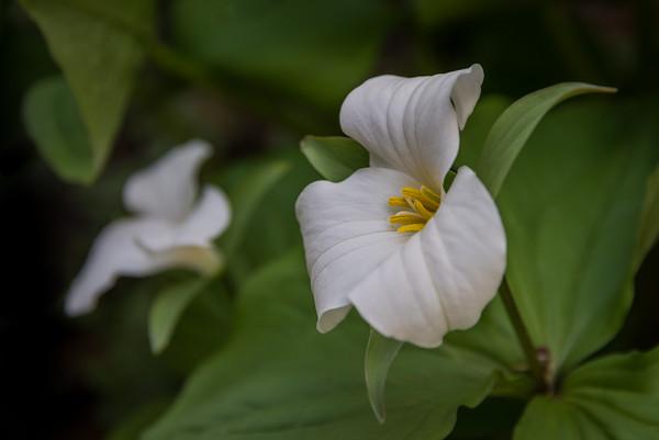 White trillium in spring