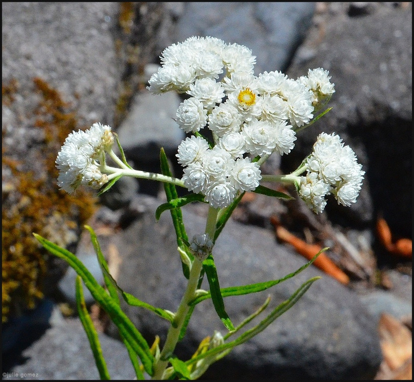 Pearly Everlasting ~ Anaphalis margaritacea