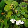 Snowberry ~ Symphoricarpos albus
