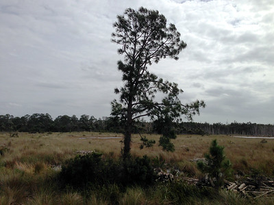 Florida-Pine-Tree