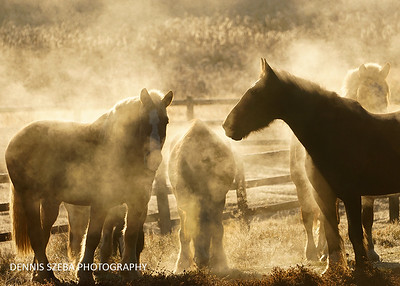 Horses throwing off steam on  a chill Montana morning. 2018