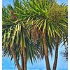 Palmetto—Sabal palmetto