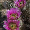 Trio of flowers on a hedgehog cactus
