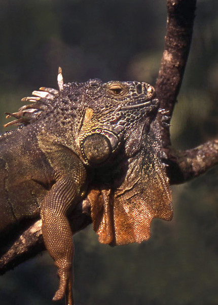 Giant Iguana rests on a tree limb. Roatan, Honduras. 2008