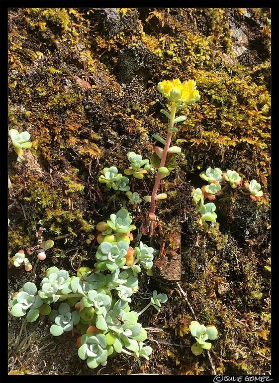 Oregon Stonecrop—Sedum oreganum