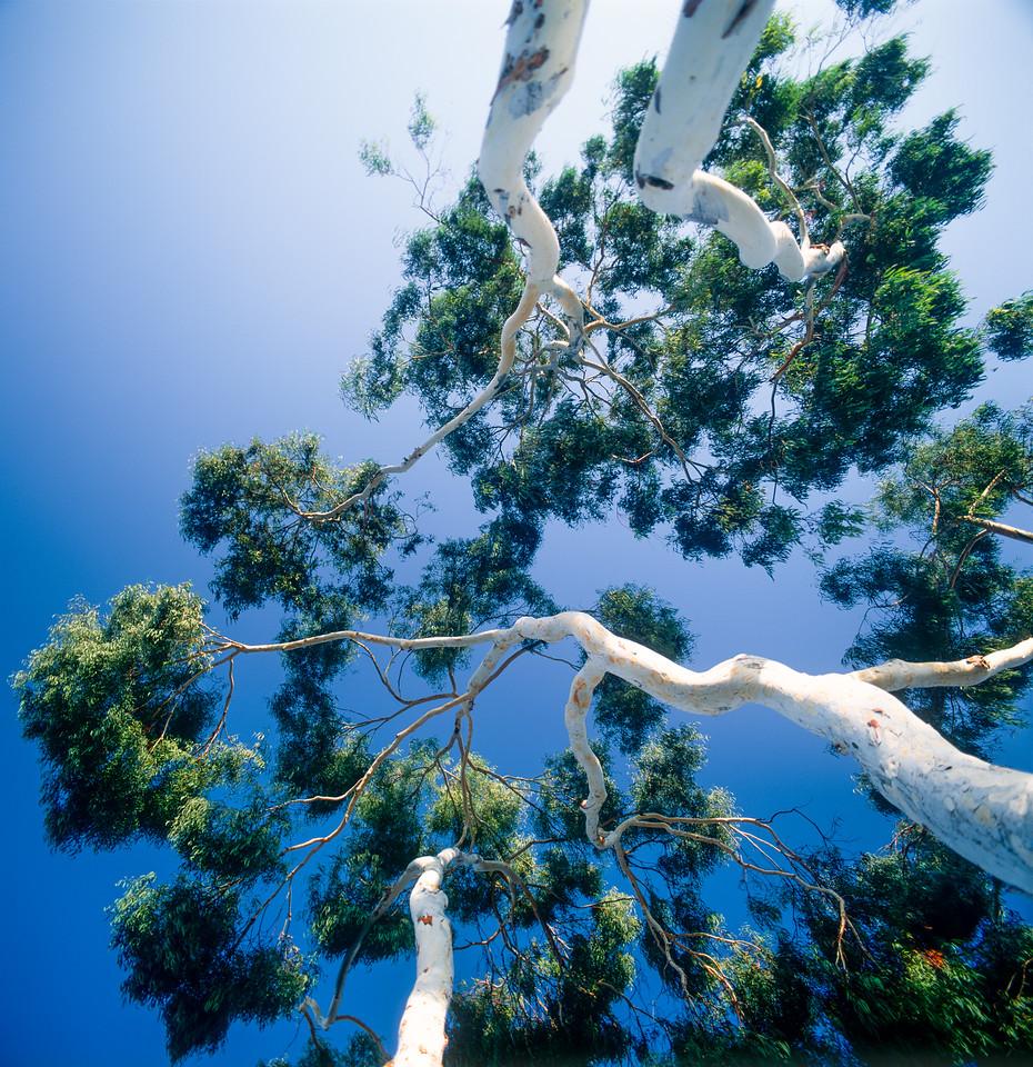 Eucalyptuses, Campbell, California, 1991