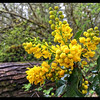 Splashes of Yellow—Oregon Grape—Mahonia aquifolium