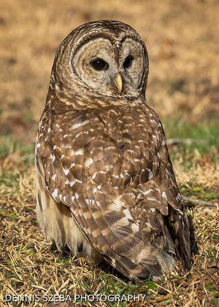 Barred Owl 2018