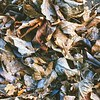 Cottonwood Leaves