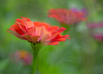 Zinnia - Cooper's Creek Farm