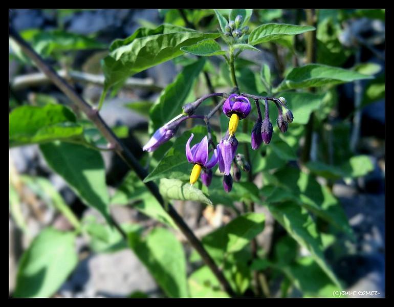 Woody Nightshade—Solanum dulcamara