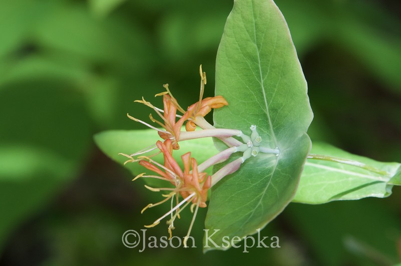 Lonicera dioica, Limber Honeysuckle; Sussex County, New Jersey 2015-05-17   4