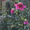 Salmonberry Blossoms—Rubus spectabilis