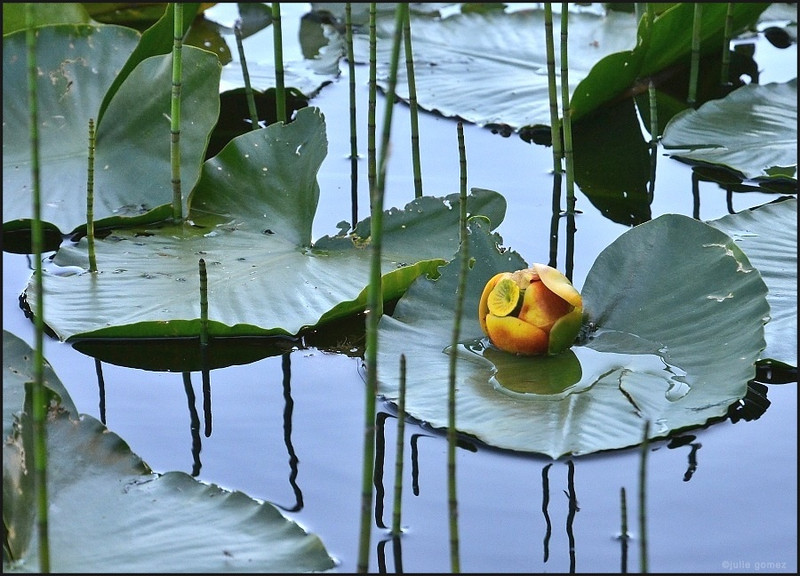 "Yellow Pond Lily ""Spatterdock"" ~ Nuphar lutea (polysepalum)"