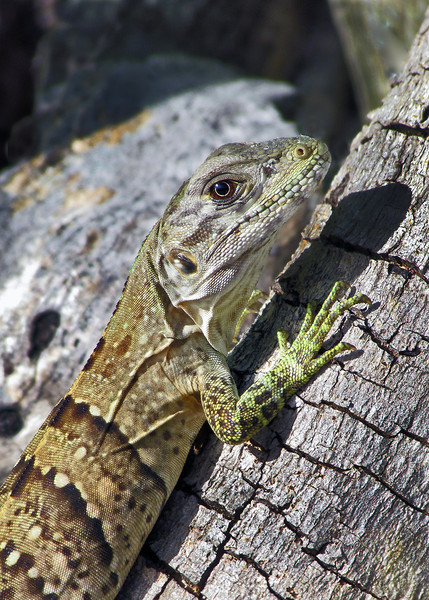 Lizard. Great Stirrup Cay, Bahamas. 2011
