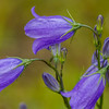 Harebell on Tablelands trail, Gros Morne National Park, Newfoundland