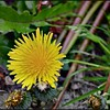 Common Dandelion—Taraxacum officinale
