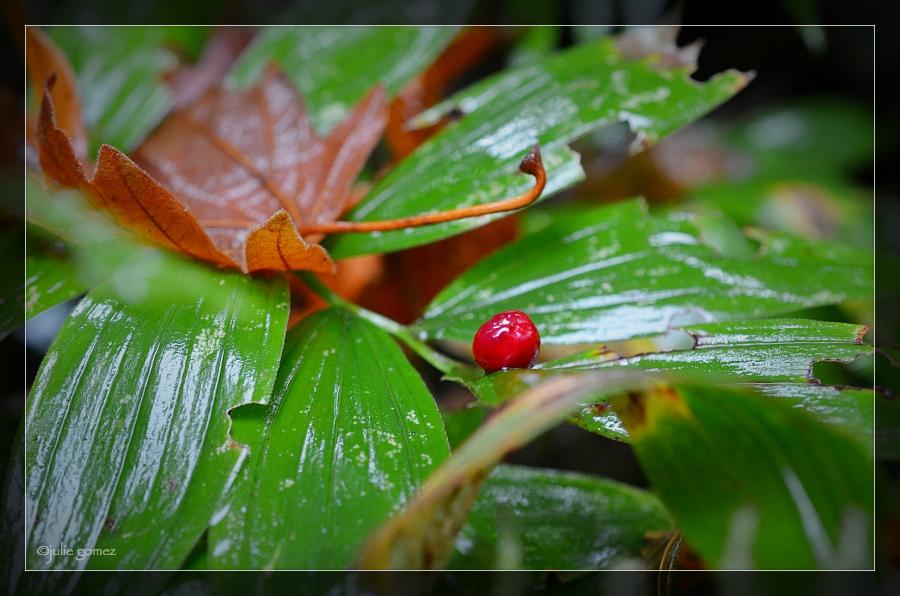 False Solomon's Seal Berry ~ Smilacina racemosa